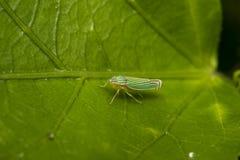 Grönt leafhopperkryp på ett blad arkivfoto
