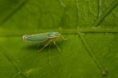 Grönt leafhopperkryp på ett blad arkivfoton