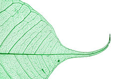 grönt leafskelett Arkivfoton