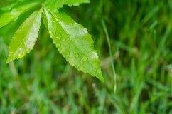 grönt leafvatten för droppar Arkivbilder