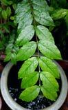 grönt leafvatten för droppe Arkivfoto