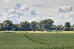 grönt liggandevete för fält field grönt vete Royaltyfria Foton