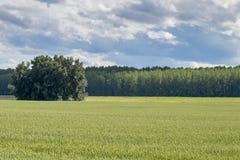 grönt liggandevete för fält field grönt vete Arkivfoto