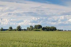 grönt liggandevete för fält field grönt vete Arkivbild