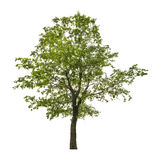 Grönt lindträd för singel som isoleras på vit Arkivbilder