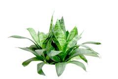 grönt litet för buske royaltyfri bild