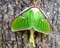 Grönt Luna Moth sammanträde på ett träd Arkivfoto