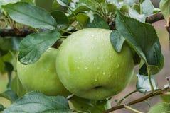 grönt moget för äpplen Fotografering för Bildbyråer