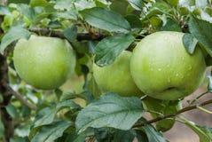 grönt moget för äpplen Arkivbild