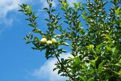 grönt moget för äpplen Royaltyfria Foton