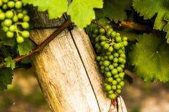 Grönt mogna för druvor Omogen grön borste av druvor Arkivfoto