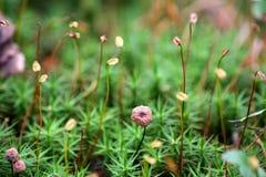 Grönt mossagräs i skogmakroen fotografering för bildbyråer