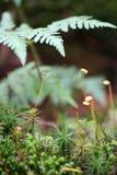 Grönt mossagräs och blad av ormbunken i skogmakroen royaltyfria foton