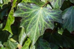 Grönt murgrönablad i solen Royaltyfri Fotografi