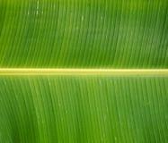 Grönt nytt bananblad efter regn, bruk för bakgrund Arkivbild
