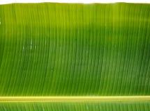 Grönt nytt bananblad efter regn, bruk för bakgrund eller wallpa Arkivbilder