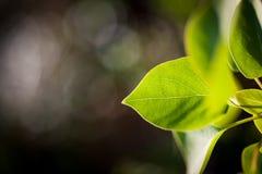Grönt nytt blad exponerat av solljus royaltyfri foto