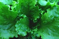 Grönt nytt blad för salladgrönsak H?lsokostbakgrund arkivbild