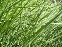 Grönt nytt gräs i closeupsikt royaltyfri bild