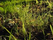 Grönt nytt gräs på den härliga jordjordningen royaltyfri bild