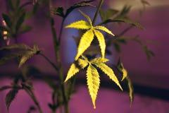 Grönt nytt marijuanablad Ungt blad av tapeten för bakgrund för MARIJUANAmarijuanablad, cannabishampabarn av marijuanaväxten de Arkivfoton