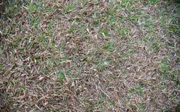 Grönt och dött gräsmattagräs Arkivfoto