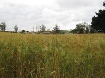 Grönt och guld- vetefält Royaltyfria Foton