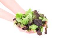 Grönt och rött blad av grönsallat i händer royaltyfri foto