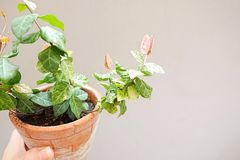 Grönt och rosa blad i Clay Pot royaltyfri foto