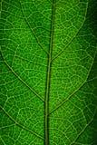 Grönt och vid liv blad royaltyfria bilder