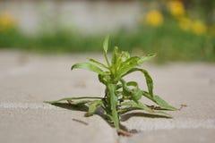 Grönt ogräs (växten) Arkivfoto