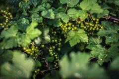 Grönt omoget för vinbär Arkivfoto