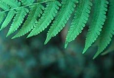 Grönt ormbunkeblad för Closeup för bakgrundsnatur Royaltyfri Fotografi