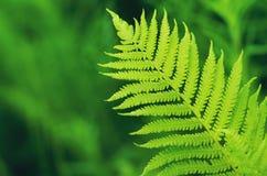 Grönt ormbunkeblad på de fokuserad bakgrund royaltyfri illustrationer