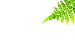 Grönt ormbunkeblad som isoleras på vit bakgrund Royaltyfri Foto