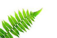 Grönt ormbunkeblad som isoleras på vit bakgrund Royaltyfria Bilder