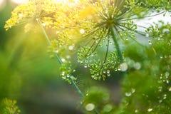 Grönt paraply av fänkål Arkivfoto