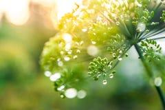 Grönt paraply av fänkål Royaltyfria Foton