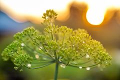 Grönt paraply av fänkål Fotografering för Bildbyråer