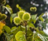 Grönt Puffbollträd Arkivbilder