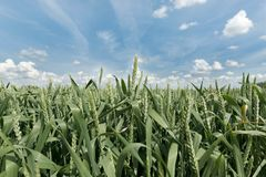 Grönt rågfält mot ljus blå himmel Arkivfoton