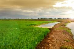 Grönt rårisfält med den ljusa solen Arkivbild