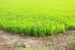 Grönt rårisfält med jordvägen Arkivbild