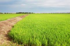 Grönt rårisfält med jordvägen Royaltyfria Foton