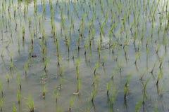 Grönt ricefält Royaltyfria Foton