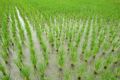 Grönt ricefält Fotografering för Bildbyråer