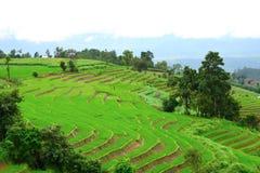 Grönt ricefält i berg Arkivbilder