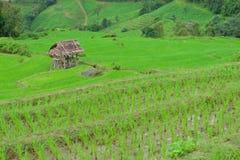 Grönt ricefält i berg (fokusricefältet) Arkivfoton