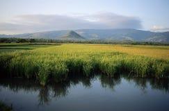 Grönt risfältfält i den java ön Arkivbild