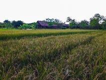 Grönt risfältfält och stuga Royaltyfria Bilder